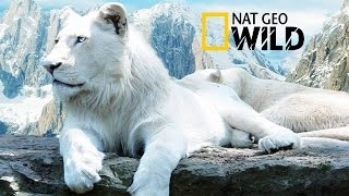 """The Rare and Exotic Animals """" White Lions""""-[HD]National Geographic[Full Documentary]"""