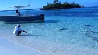 Shark feeding frenzy in shallow water..... !!!!