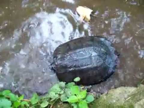 Letting go my  Snapping turtle