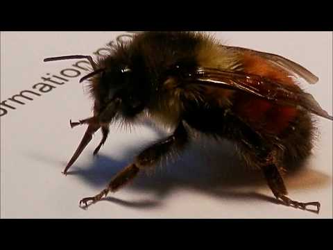 Insect Rescue | The Tired Bee Mimic