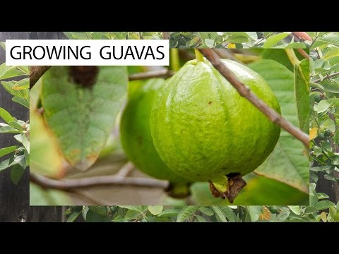 How To Grow Guavas - 3 Delicious Guava Varieties For You!