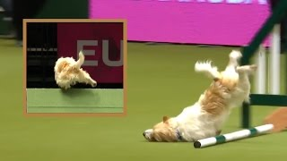 Adorable Terrier DESTROYS Obstacle Course   What