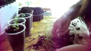 Guava Nursery India Seeds Plants Videos Books