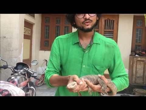 Monitor lizard Wildlife & Reptile Rescue Video.
