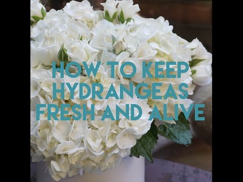 How to Keep Hydrangeas Fresh and Alive Longer