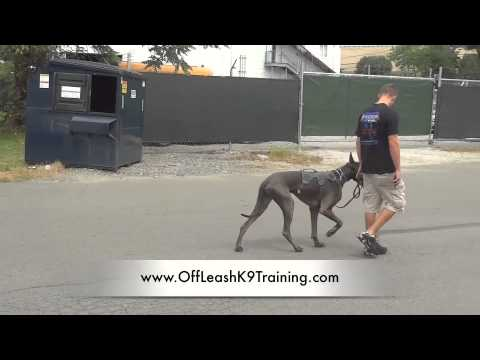 Check out this 140lb Great Dane's Heel!  What's Your Dog's Excuse?  Off Leash K9 Training