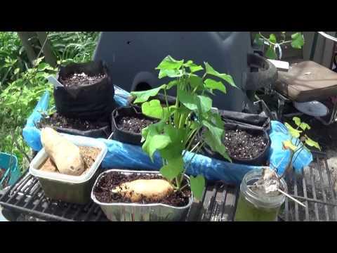 The best way to start & root sweet potatoes (slips)