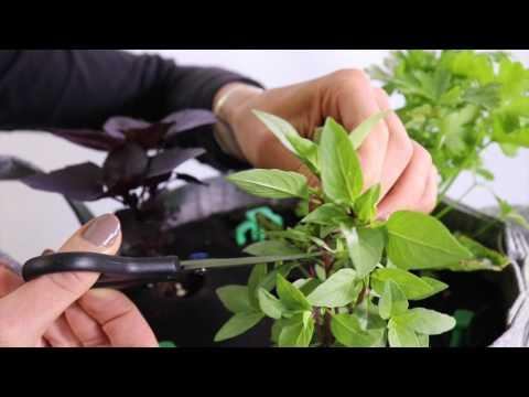 How To Harvest Thai Basil