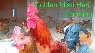 Golden misri day 37/Small business Idea/feed cost cutting/desi