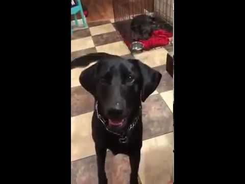 Diabetic Alert Dog Alerts to Low Blood Sugar