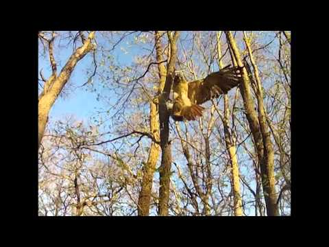 Falconry with a Redtail hawk. *Warning raptor is catching game