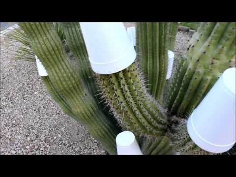 Cactus Freeze Protection