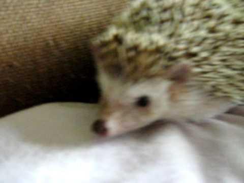 hedgehog fat or pregnant?