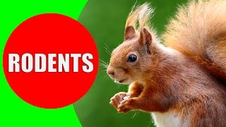 Rodent Sounds for Kids to Learn - Rodents Documentary with 18 Different Types of Rodents