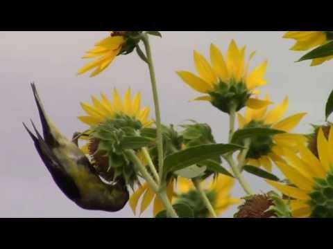 Beautiful Birds eating sunflowers seeds
