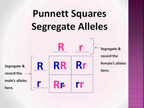 Bio-Lect!: Punnett Squares P, F1, & F2 generations