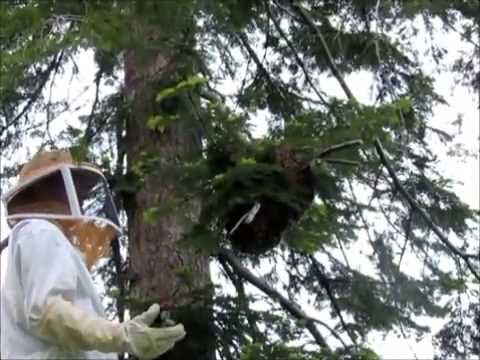honey bee swarm in white fir tree