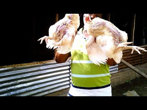 HOW TO SLAUGHTER TWIN CHICKEN AT HOME