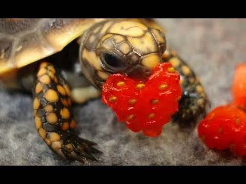 90 Seconds of Cute Baby Tortoises eating tiny food - Adorable Little Turtles Compilation