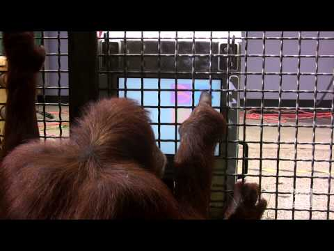 Great Apes Use Touchscreen Computers Behind-the-Scenes at Zoo Atlanta