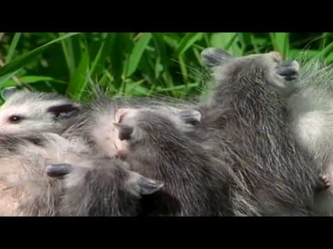 Opossum Mother and Babe