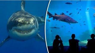 इसीलिए Great White Shark को Aquarium में कभी नहीं रखा जाता Shocking Fact of Great White Sharks