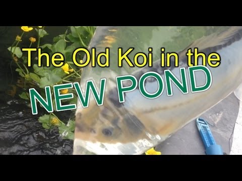 How to Transfer large Koi Cyprinus carpio : Their new and bigger pond with waterfall and stream