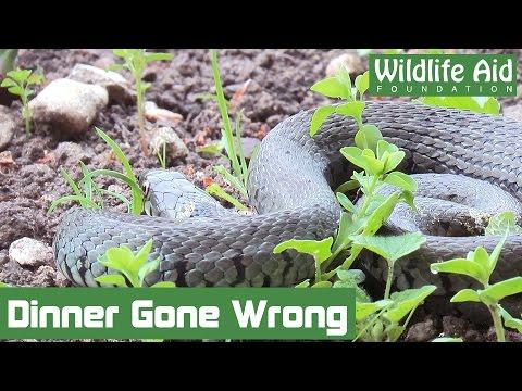 Grass snake stuck by its dinner!