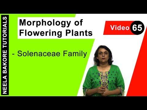 Morphology of Flowering Plants - Solenaceae Family