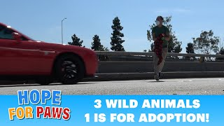 Dangerous rescue on the freeway of an animal from China + 2 more birds.