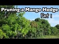 Pruning a Mango Tree Hedge- Part 1