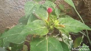 Amazing!!! Bunga penghasil bedak???