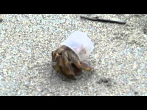 Hermit Crab with a plastic bottle cap shell