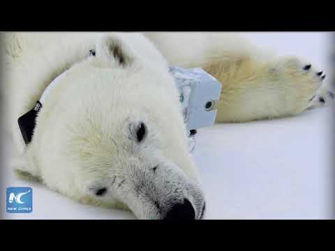 Scientists hatch plan to save polar bears