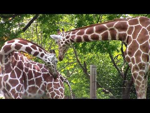 Giraffes Are Very Calm Animals.
