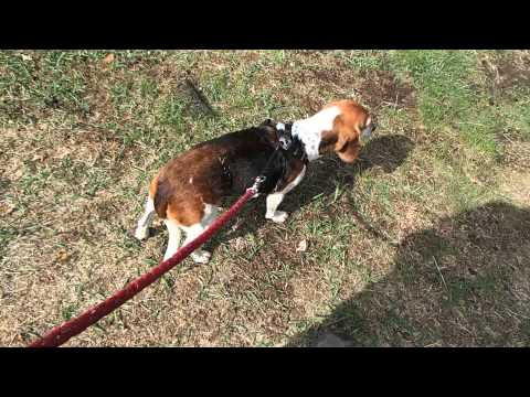 dog having a seizure (Elvis the beagle)