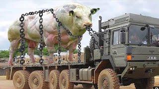 Pakistan cow mandi Videos - 9tube tv