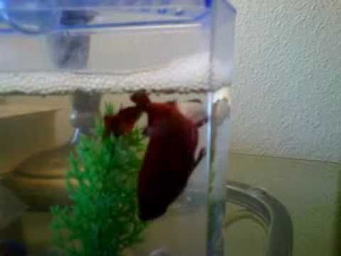 Watch How Betta Fish Breed and Catch Eggs