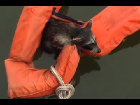 Boaters save drowning baby raccoon