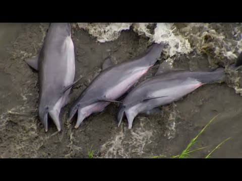 Dolphins Beach Themselves To Feed   The Hunt   BBC Earth