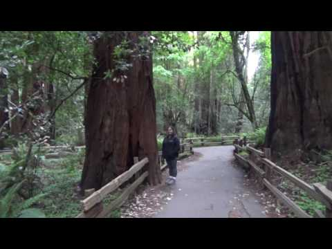 Giant Redwoods at Muir Woods National Monument