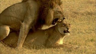 A lion pride is born