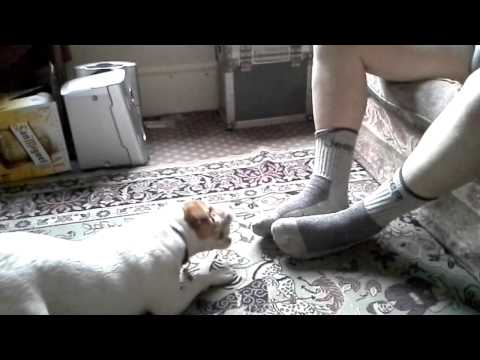 Terrier Vs Toes - Beware of the Dog - Lolly