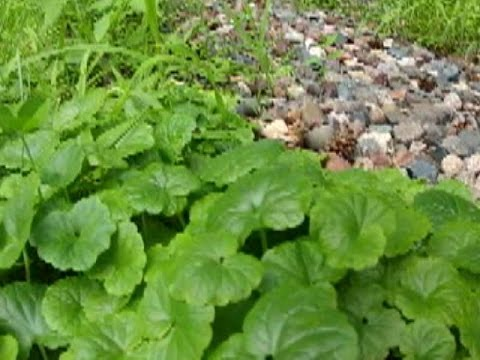 In the Garden: best defense against creeping Charlie