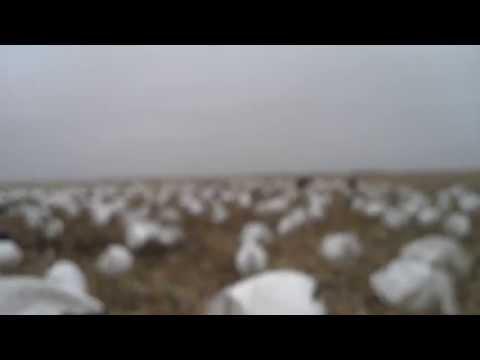 snow goose single