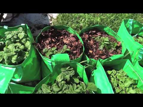Allotment day 51 - Earth up potatoes with leaf mould