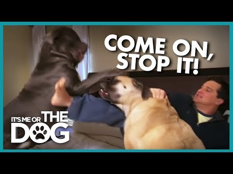 Dogs Fight On Bed On Top Of Owner | It's Me Or The Dog