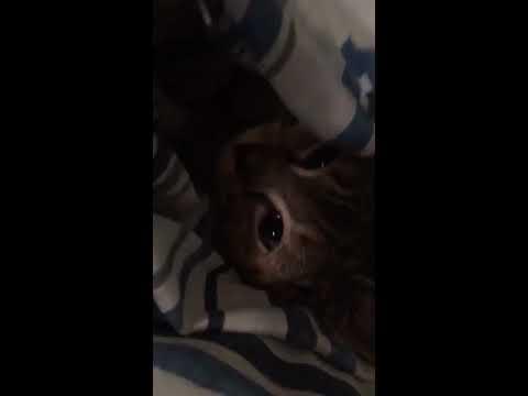 Pebbles Kitten