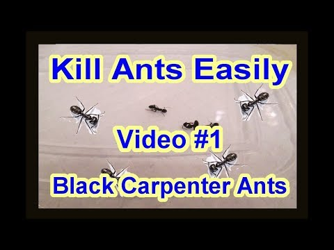 EASY DIY How to get rid of Black Carpenter Ants Garden Termite Kinds Video #1