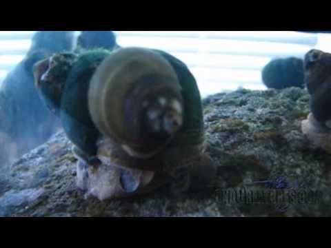 Trapdoor Snails - Algae Control For Lakes, Ponds & Aquariums